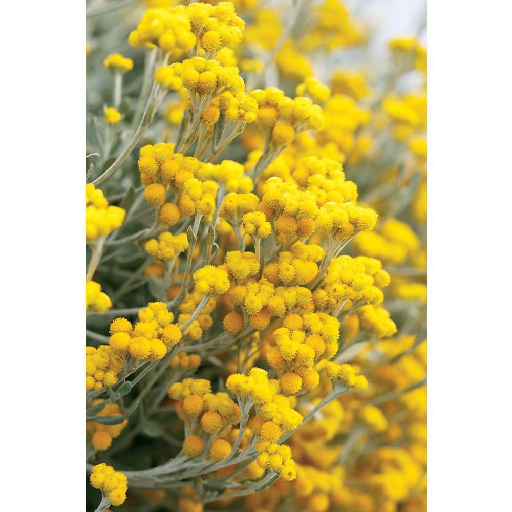 Flambe Yellow Strawflower (Chrysocephalum) Live Plant, Yellow Flowers, 4.25 in. Grande