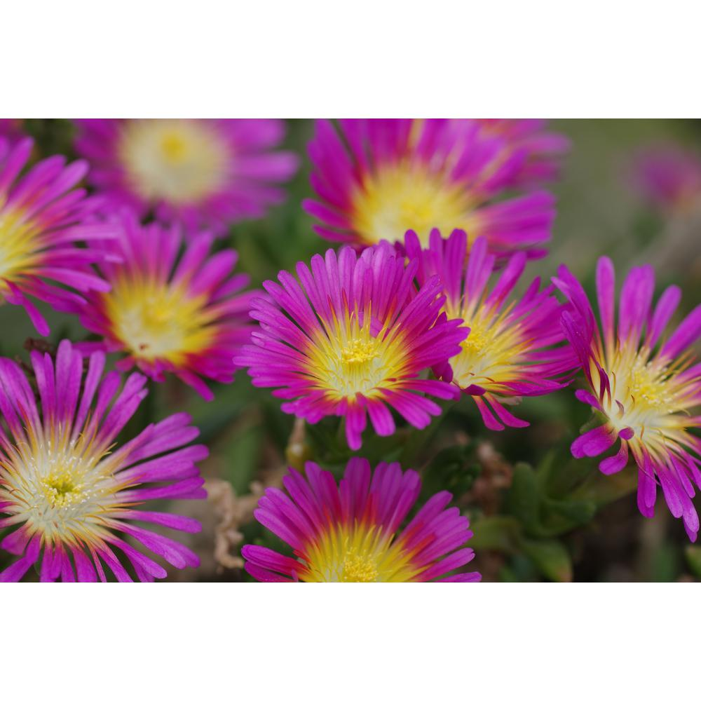 Proven Winners 4.5 in. Qt. Button Up Hot Pink Ice Plant (Delosperma) Pink Flowers with Yellow Center Live Plant