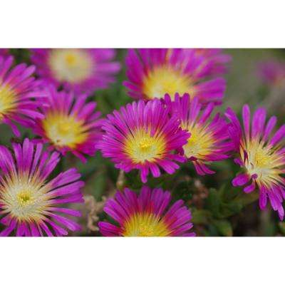 4.5 in. Qt. Button Up Hot Pink Ice Plant (Delosperma) Pink Flowers with Yellow Center Live Plant