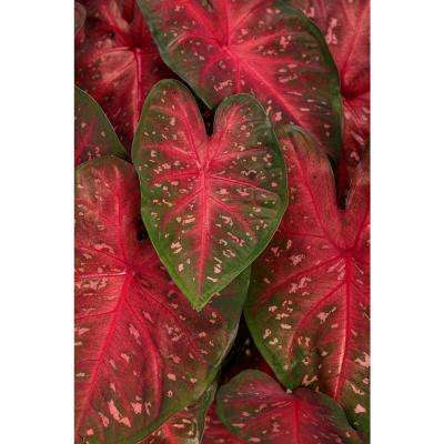 4.5 in. Quart Heart to Heart Fast Flash (Caladium) Live Plant in Pink and Red Foliage