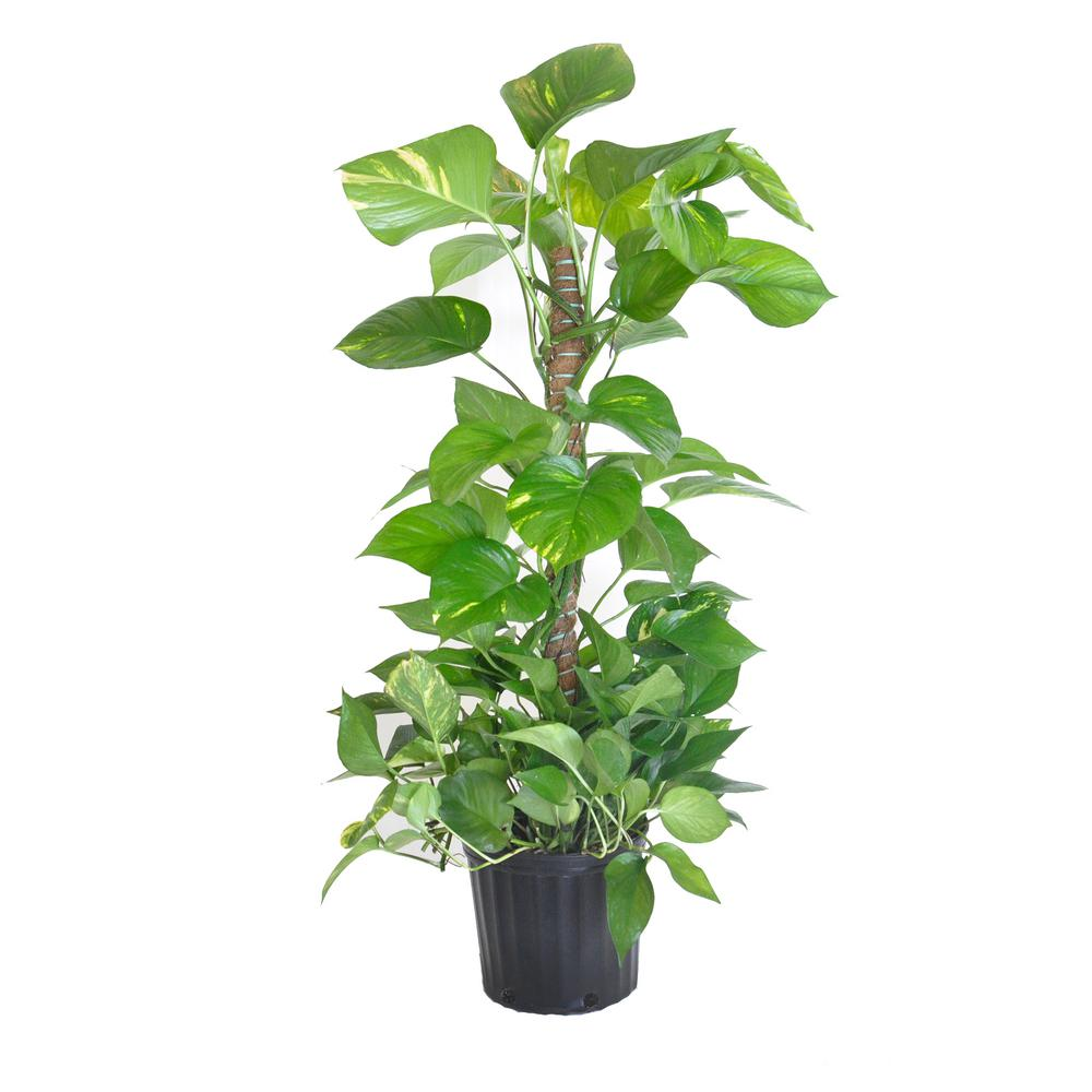 UNITED NURSERY Golden Pothos Totem Plant in 9.25 in. Grower Pot