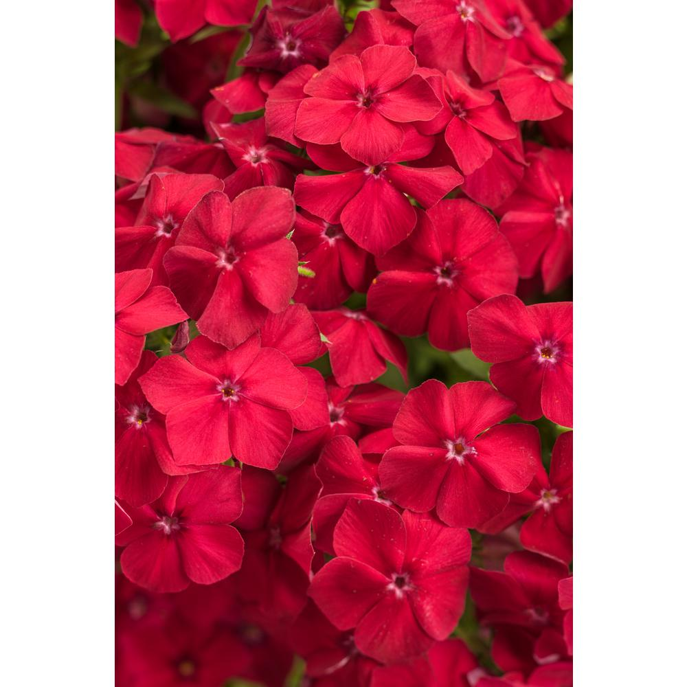 Intensia Red Hot (Phlox) Live Plant Red Flowers 4.25 in. Grandes (4-Pack)