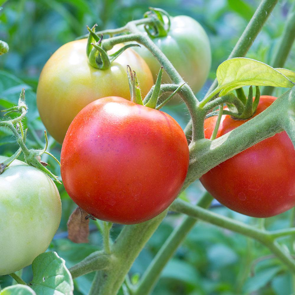 """Picture of Live Early Girl Tomato JB Vegetables Plant Fit 4"""" Pot"""