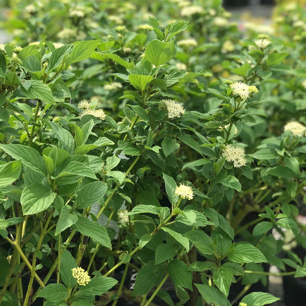 2.5 Qt. Budd's Yellow Twig Dogwood (Cornus), Live Deciduous Plant, Yellow Flowers with Green Foliage (1-Pack)