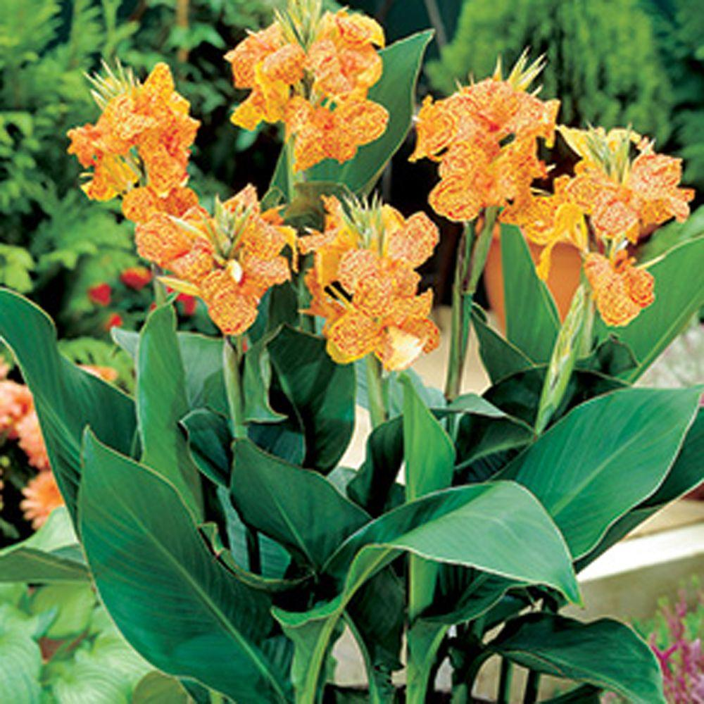 null Canna Picasso Dormant Bulbs (6-Pack)-DISCONTINUED