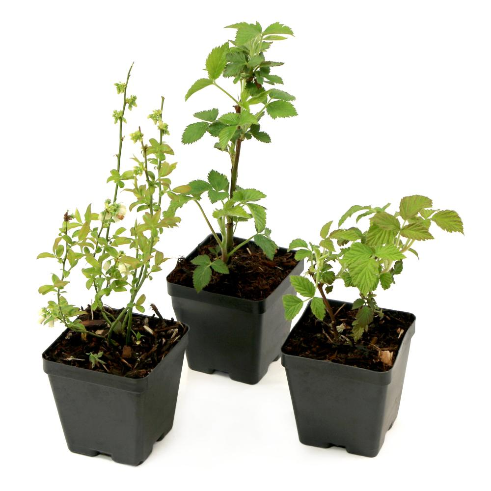 CottageFarmsDirect Cottage Farms Direct Bushel and Berry Northern Smoothie Collection 3.5 in. Pots Blueberry-Blackberry-Raspberry Plants (3-Piece)
