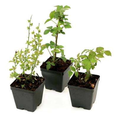 Bushel and Berry Northern Smoothie Collection 3.5 in. Pots Blueberry-Blackberry-Raspberry Plants (3-Piece)