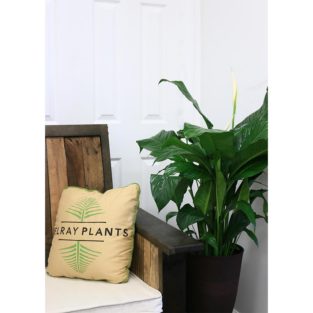 Sansevieria Zeylanica in 8.75 in. Grower Pot