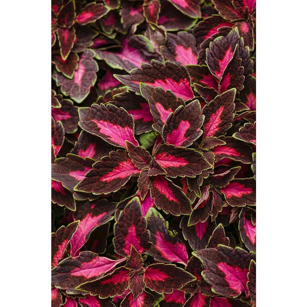 Proven Winners 4-Pack, 4.25 in. Grande ColorBlaze Velveteen Coleus (Solenostemon) Live Plant, Pink and Purple Foliage with Green Edge