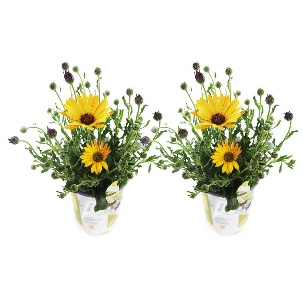 1.71-Pint Yellow Compact Osteospermum (2-Pack)