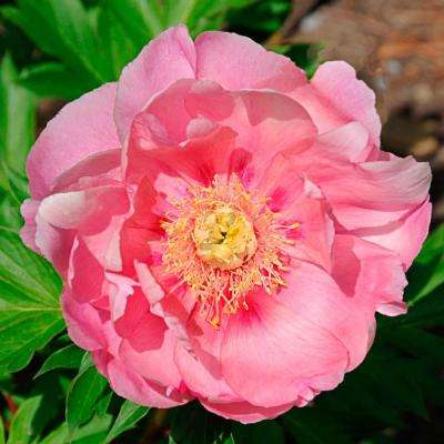 4 in. Pot Itoh Peony Strawberry Crme Brulee Live Potted Perennial Pink Flowers