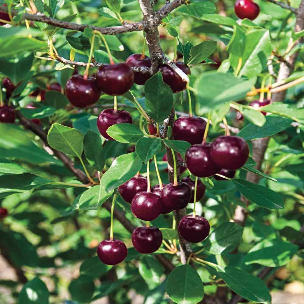 1 Gal. Juliet Dwarf Bush Cherry Prunus, Live Fruiting Tree (1-Pack)
