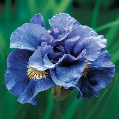 Purple Flowers Concord Crush Siberian Iris Bulbs (3-Pack)