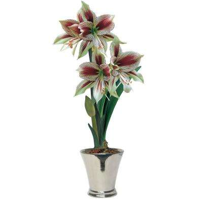 Papilio Butterfly Amaryllis (Hippeastrum) Bulb (1-Pack)