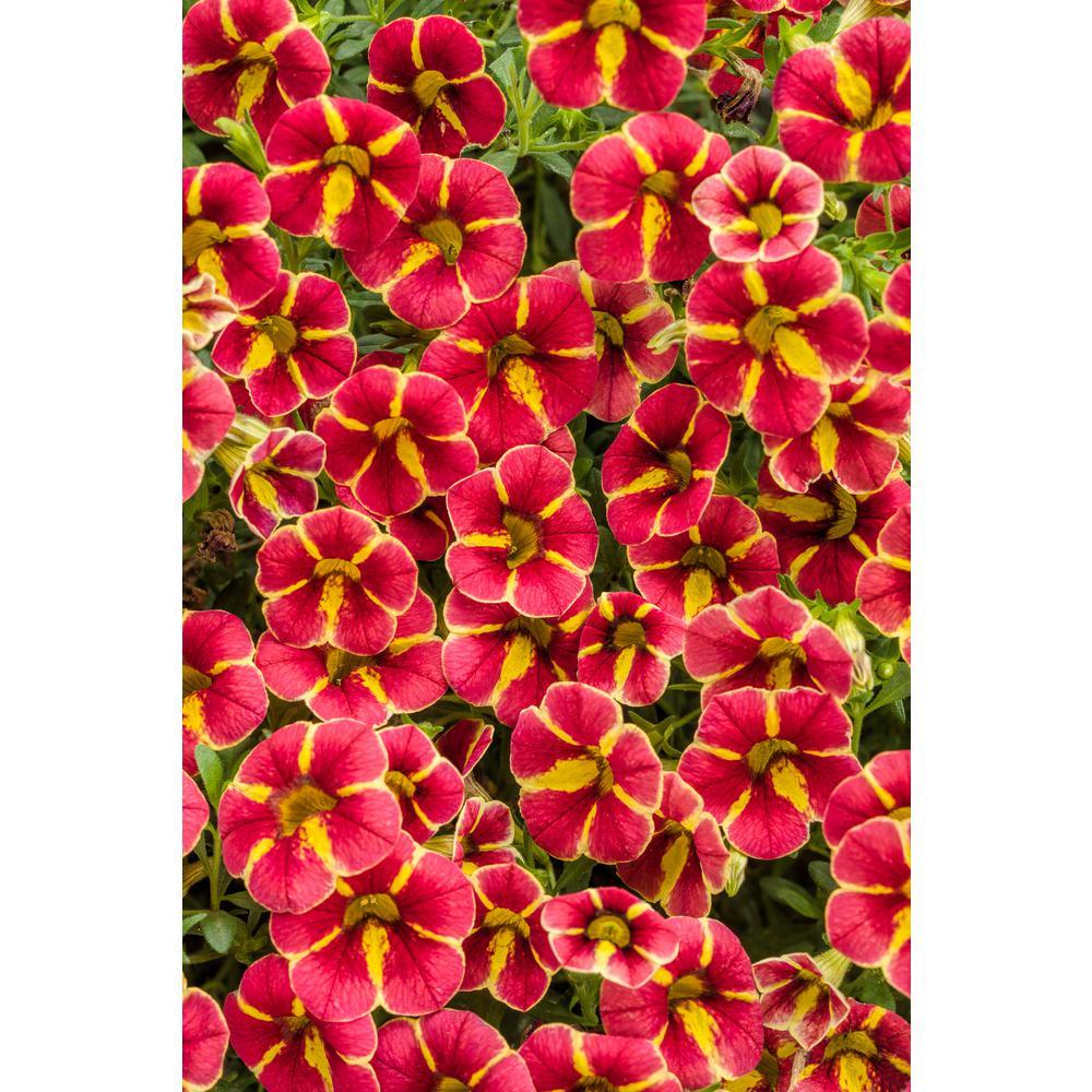 4-Pack, 4.25 in. Grande Superbells Cardinal Star (Calibrachoa) Live Plant, Red Flowers