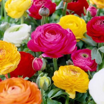 Butter Cups Bulbs Ranunculus Double Blooming Mixed (Set of 25)