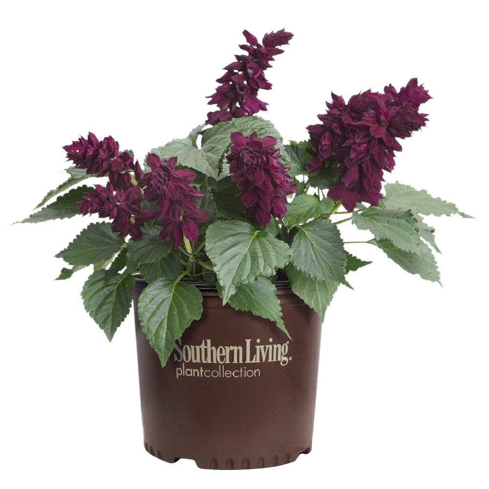 Southern Living Plant Collection 2 Gal Saucy Wine Salvia
