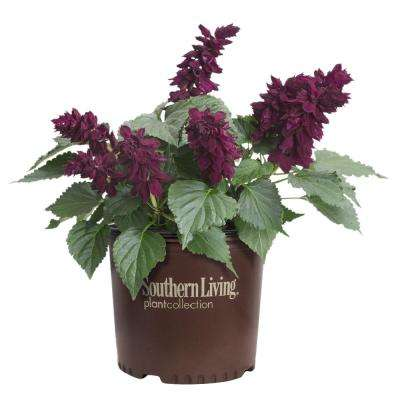 2 Gal. Saucy Wine Salvia, Live Blooming Perennial Plant, Burgundy-Red Flower Spikes