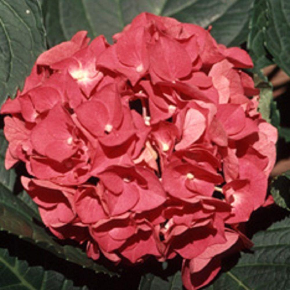 9.25 in. Pot - Charm Hydrangea(Macrophylla) Live Deciduous Shrub, Rose-Pink or Blue Blooms
