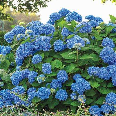 4 in. Pot Endless Summer Hydrangea Live Deciduous Flowering Shrub with Blue or Pink Flowers (1-Pack)