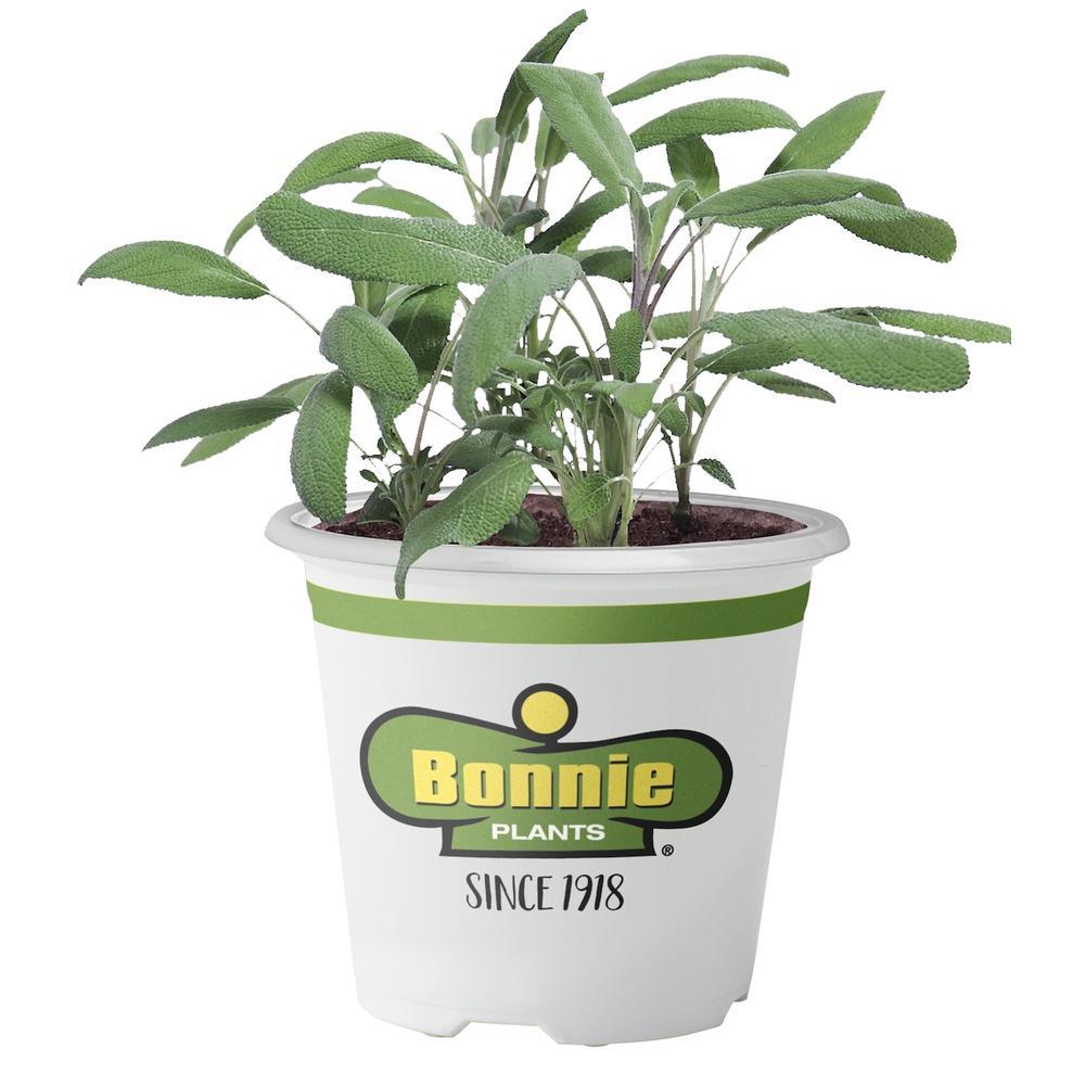 Bonnie Plants 4.5 in. Garden Sage