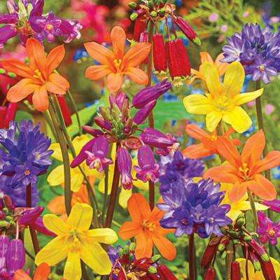 Summer Festival Mix Bulbs (25-Pack)