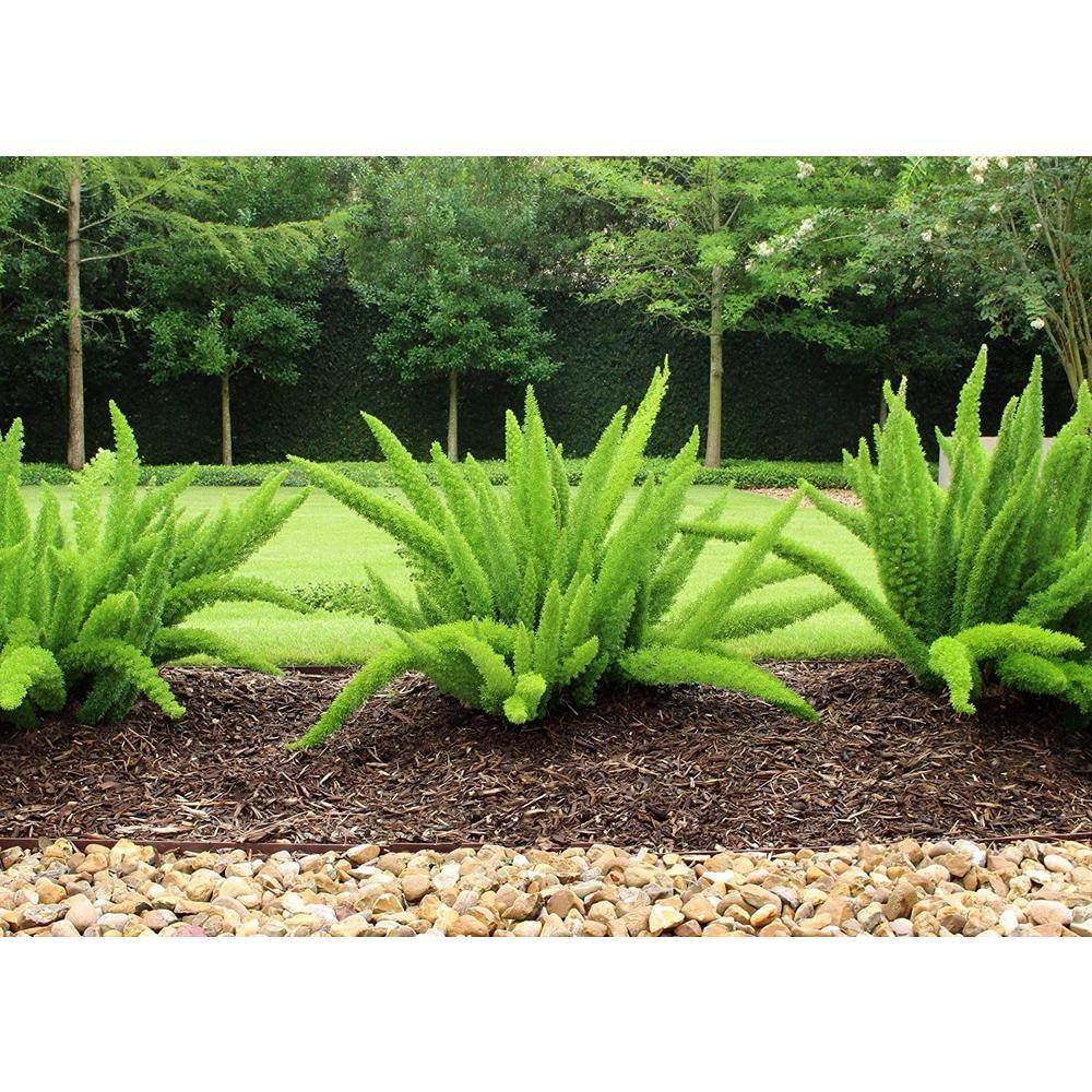 2.5 Qt. Foxtail Fern Plant in 6.33 In. Grower's Pot (4-Plants)