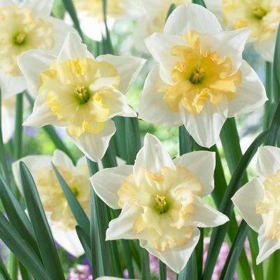 Changing Color Daffodils 12 Pack