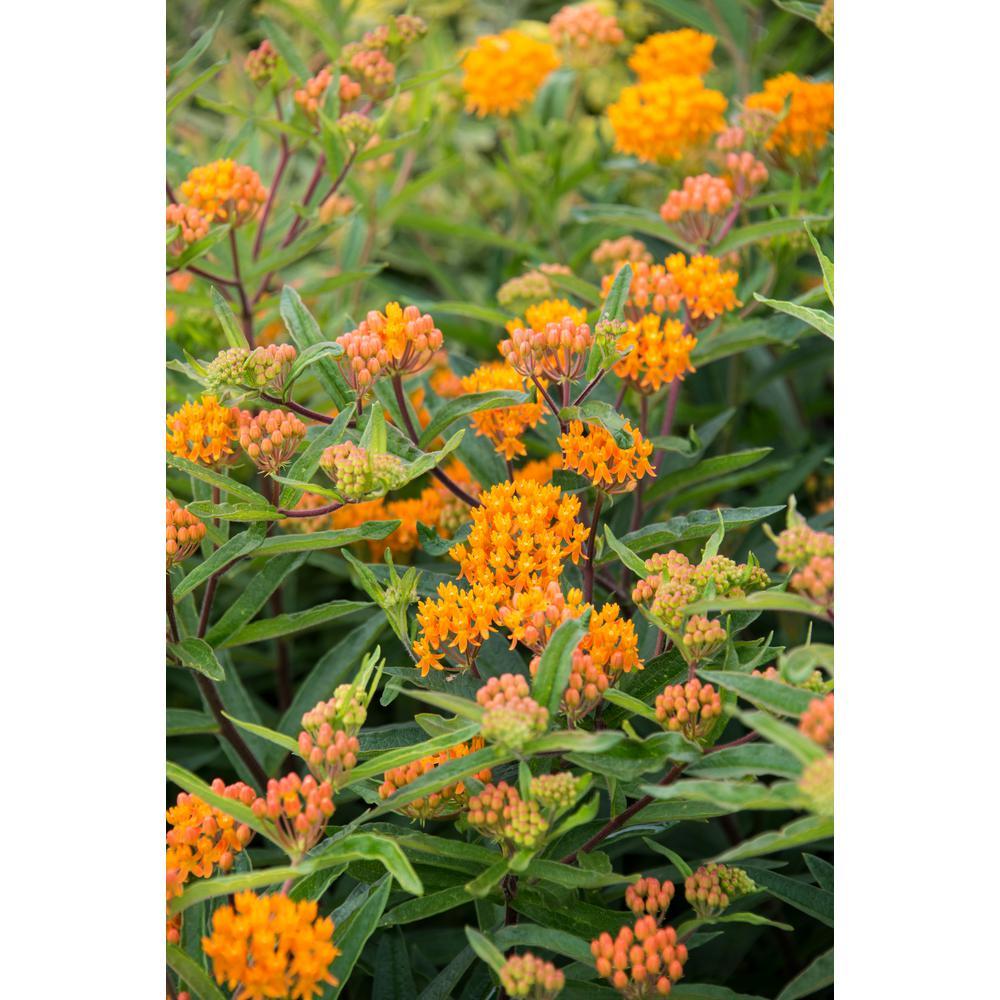 Orange Butterfly Plant (Asclepias) Live Bareroot Plant Orange Flowering Perennial