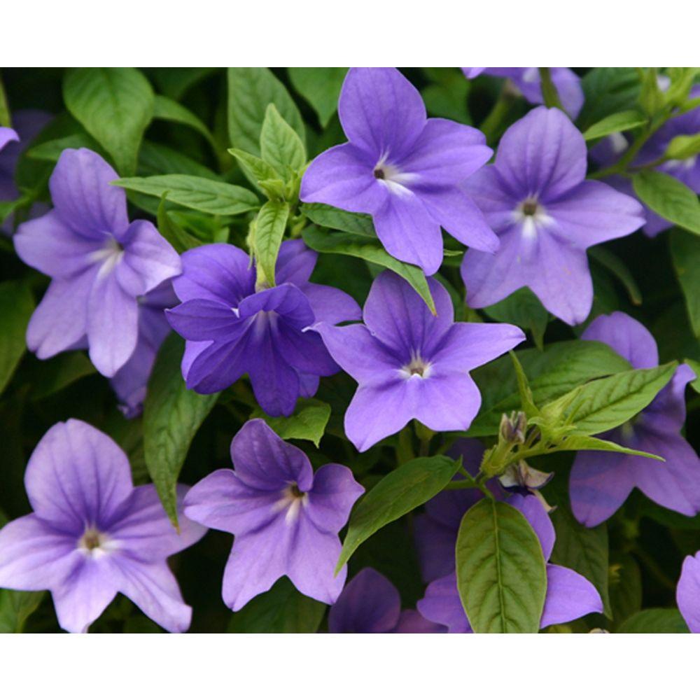 Proven winners endless illumination browallia live plant blue proven winners endless illumination browallia live plant blue purple flowers 425 izmirmasajfo
