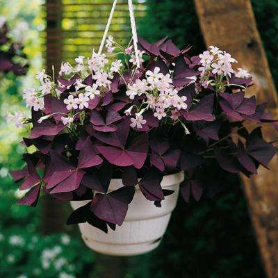Burgundy Shamrock Bulbs (25-Pack)