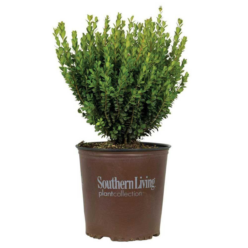 Southern Living Plant Collection 2 Gal. Boxwood Baby Gem, Live Shrub Plant, Glossy Green Foliage