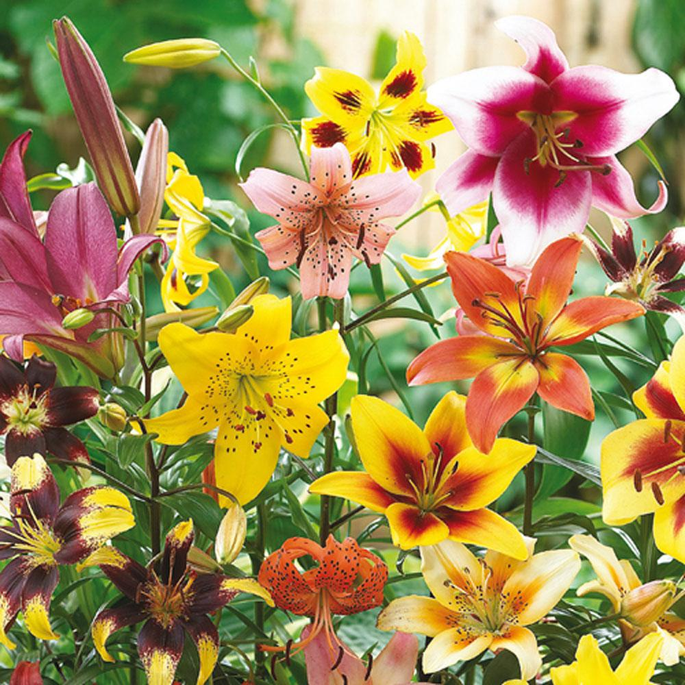 Breck's All Summer Lily Mix Bulbs (10-Pack)