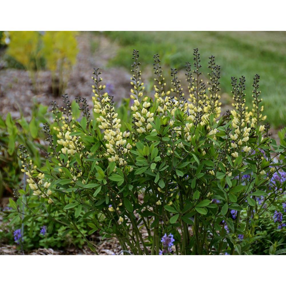 Flowering perennial cream perennials garden plants flowers 1 gal vanilla cream decadence bapt mightylinksfo