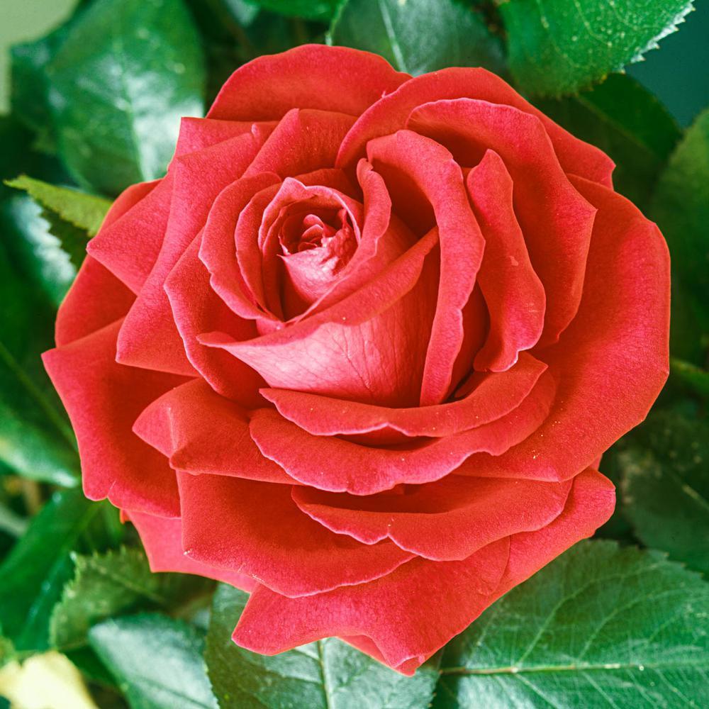 Tropicana Hybrid Tea Rose Live Bareroot Plant with Orange Color Flowers (1-Pack)
