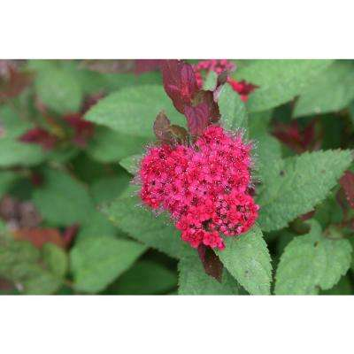 4.5 in. Quart Double Play Doozie (Spiraea) with Live Shrub with Red Flowers