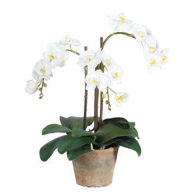 19 in. Potted Phaleanopsis