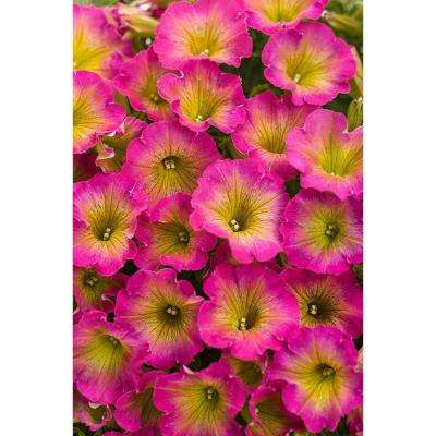 Supertunia Daybreak Charm (Petunia) Live Plant, Pink and Yellow Flowers, 4.25 in. Grande