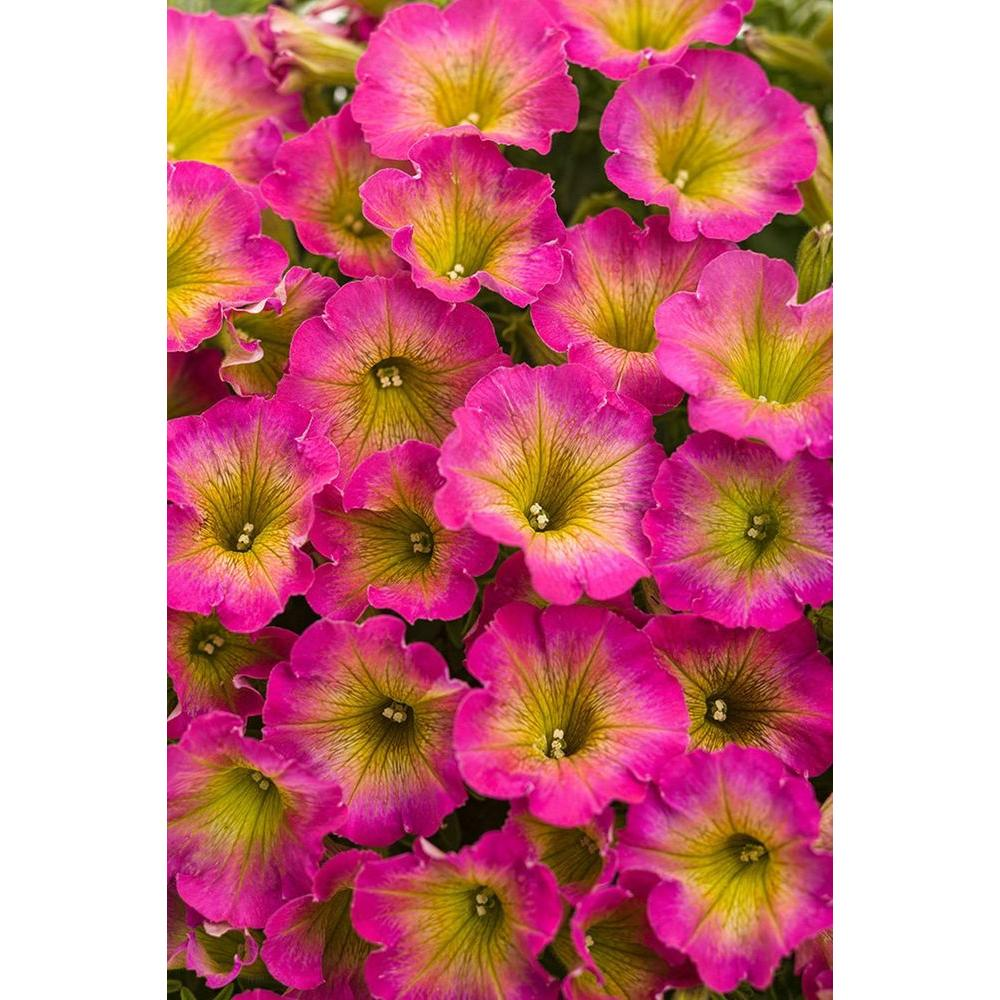 Proven winners supertunia daybreak charm petunia live plant pink proven winners supertunia daybreak charm petunia live plant pink and yellow flowers mightylinksfo