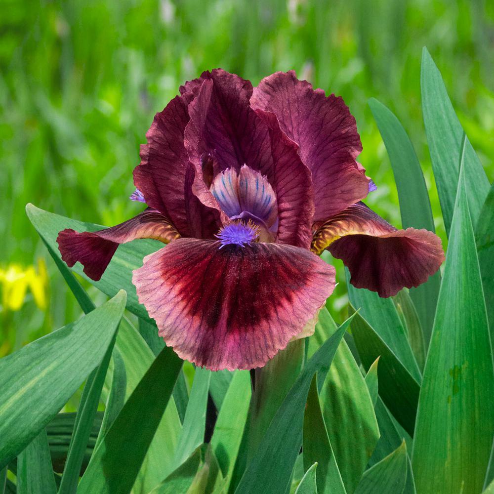 Cat's Eye Dwarf Bearded Iris Rose-Red Flowers Live Bareroot Plant