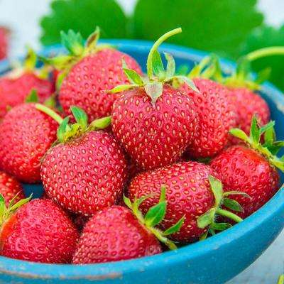 All Star Strawberry Fragaria, Live Bareroot Fruiting Plant (25-Pack)