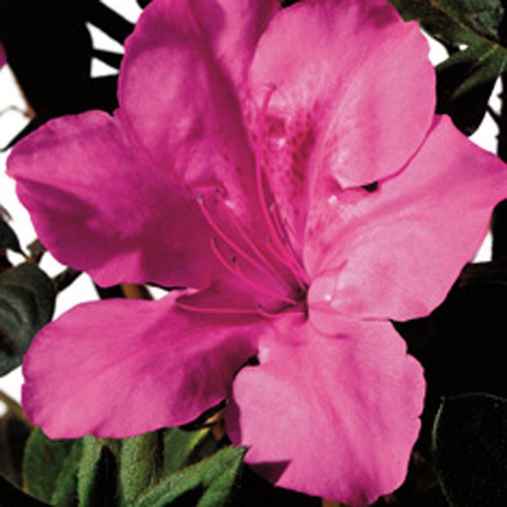 1 Gal. Autumn Sangria Encore Azalea Shrub with Neon Pink Reblooming Flowers
