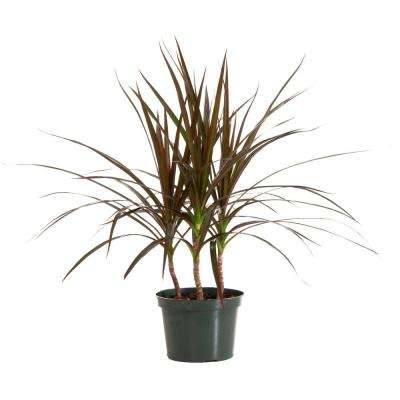 Marginata Magenta in 6 in. Grower Pot