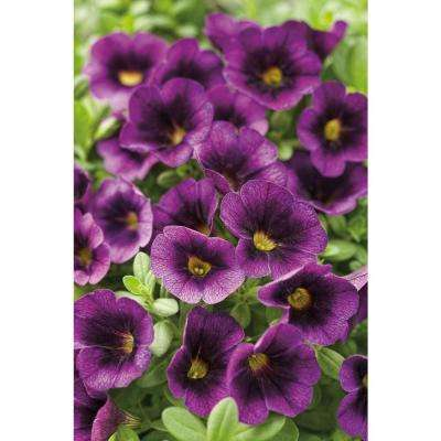 Superbells Grape Punch (Calibrachoa) Live Plant, Purple Flowers, 4.25 in. Grande, 4-pack