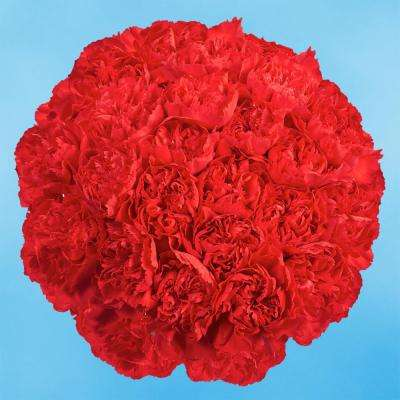 Fresh Red Carnations (200 Stems)
