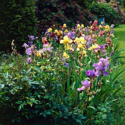Iris Germanica Bulbs Naturalizing Mixture (Set of 21 Roots)