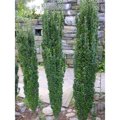1 Gal. Sky Pencil Japanese Holly Shrub Columnar Evergreen Especially Elegant in Containers and as Hedges