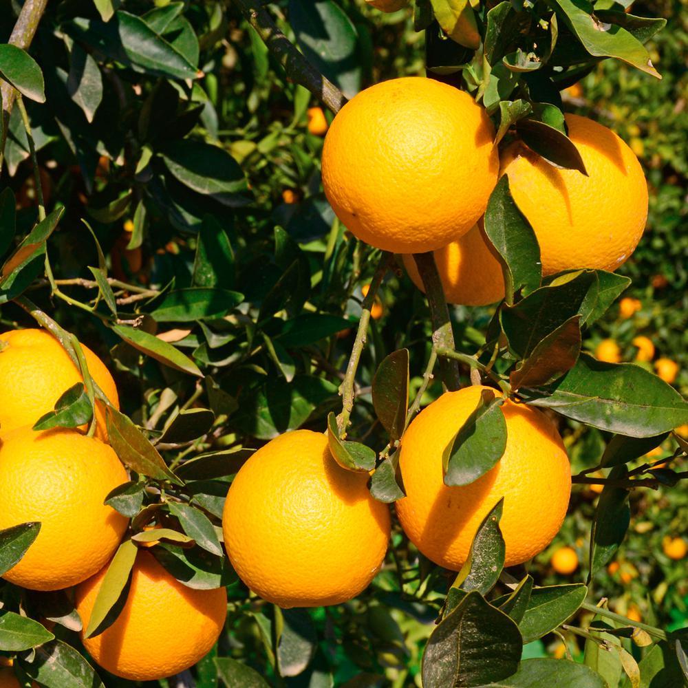 Cara Cara Orange Tree - 1.5 Year Old