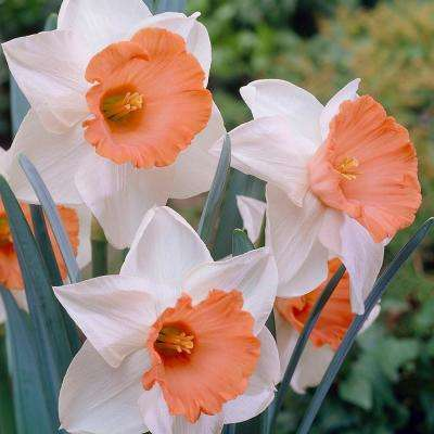 Daffodils Bulbs Chromacolor (Set of 12)