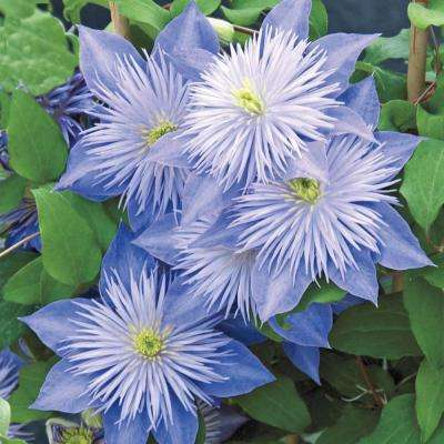 3 in. Pot Crystal Fountain Clematis Live Deciduous Plant Pale-Lavender Flowering Perennial Vine (1-Pack)